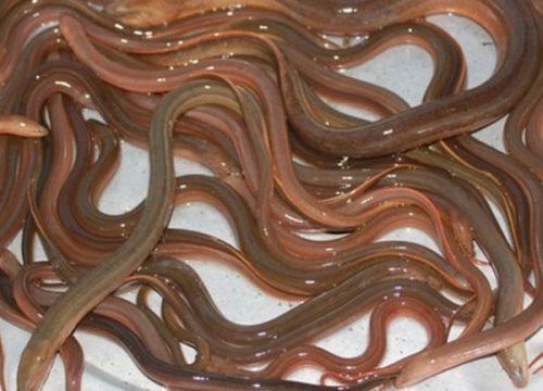 Mơ thấy lươn