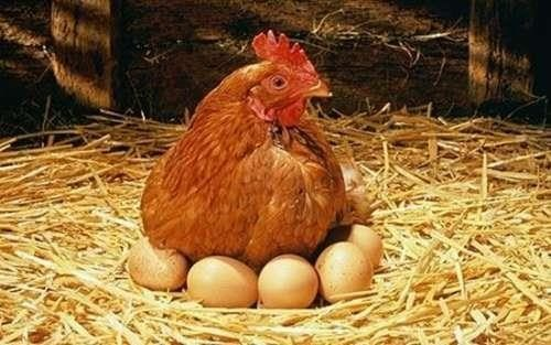 Mơ thấy gà mái